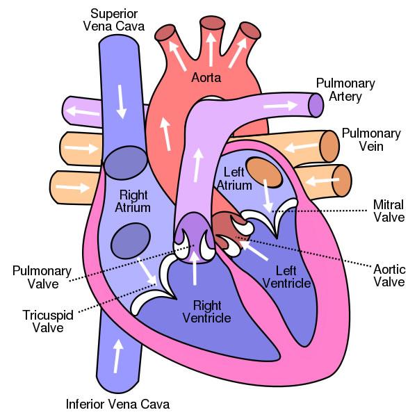 heartdiagram